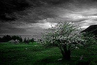 An apple tree in bloom and a dark threatening sky