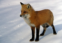 A red fox looks with intensity while standing on the snow